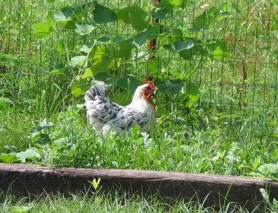 Splash Maran hen found her way to the watermelon patch!!